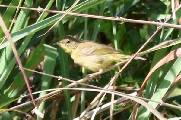 Common Yellowthroat (Female) @ Riverlands MBS