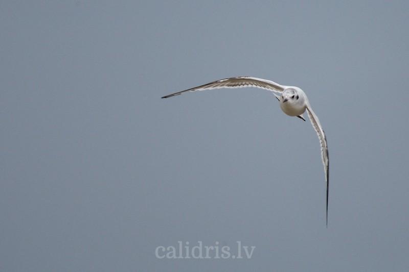 Little gull in flight (juv.)