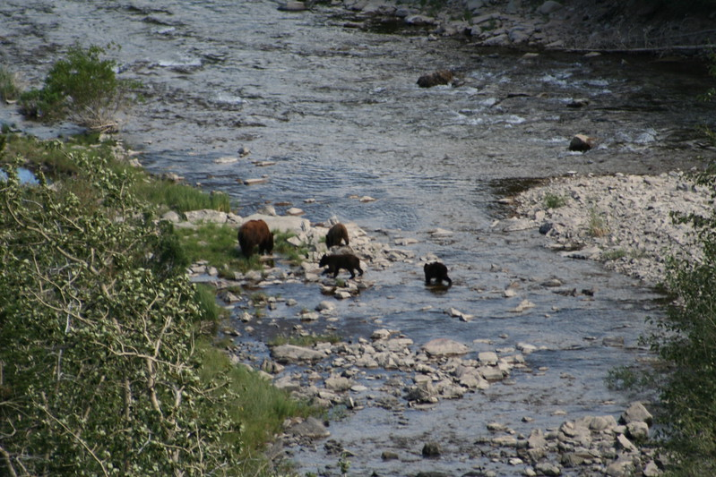 20110828 - 070 - GNP - Sow And 3 Bear Cubs Along Road By Many Glacier Hotel.JPG