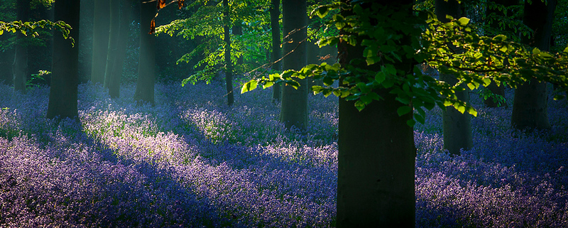 Bluebell dawn 10.jpg