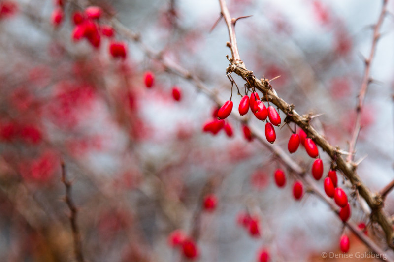 no snow, but somehow these bright red berries feel like winter to me!