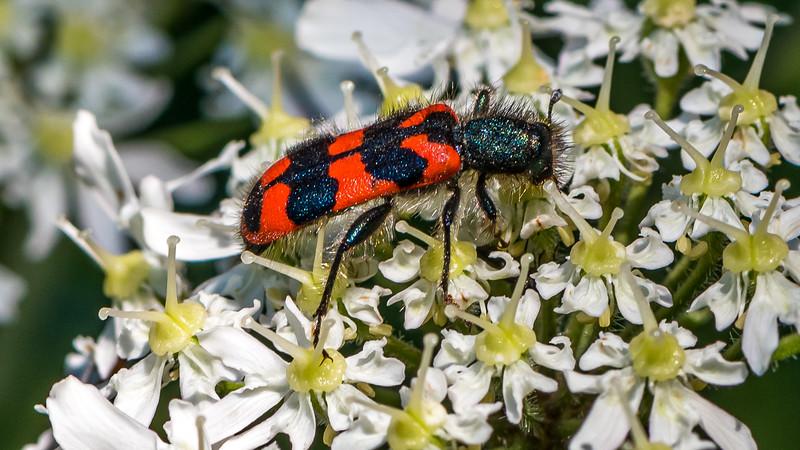Checkered Beetle