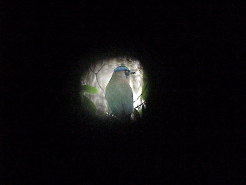 Blue-crowned Motmot at Talari Mountain Lodge Costa Rica 2-15-03 (50898060)