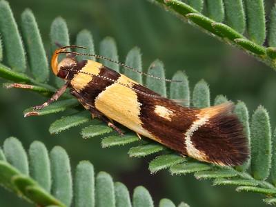 Cosmopterigidae
