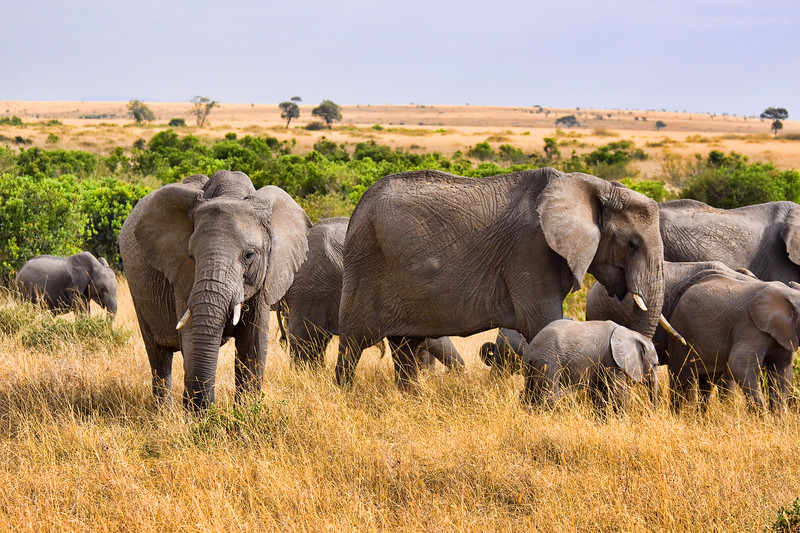 Group of elephants standing in the wild bush of Africa. Photography fine art photo prints print photos photograph photographs image images artwork.