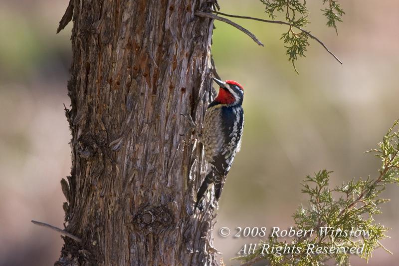Male, Red-naped Sapsucker