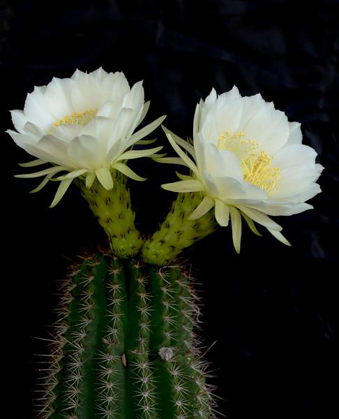 Torch Cactus 10-13-2016c.jpg