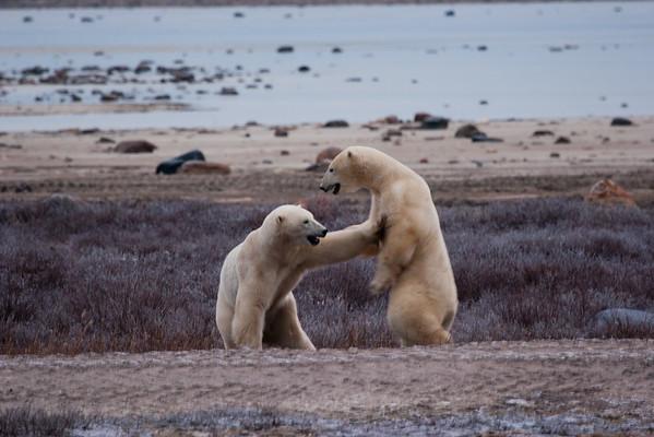 Polar Bears of Canada