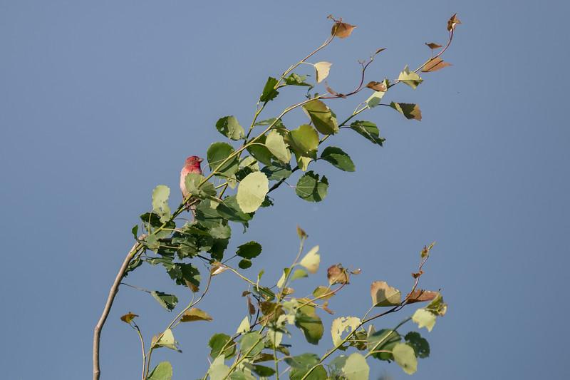 dziwonia | common rosefinch | carpodacus erythrinus