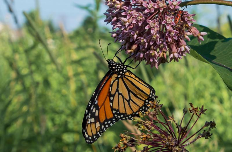 Monarch-butterfly-milkweed-SFbog.jpg