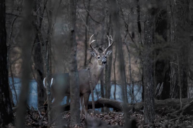 1.5.18 - Prairie Creek Recreation Area: White-tailed Deer Buck