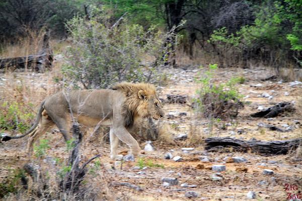 Alone lion, Etosha Namibia