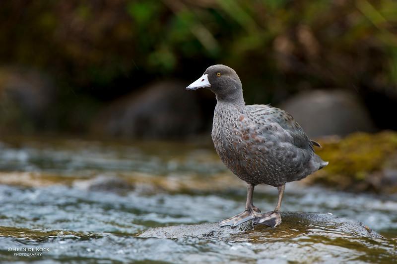 Blue Duck, imm, Tongariro NP, NI, NZ, March 2015.jpg