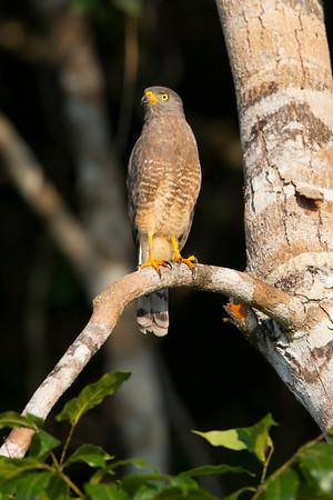 Roadside Hawks