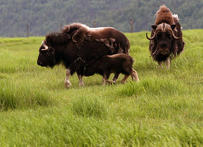 Windy Valley Musk Ox