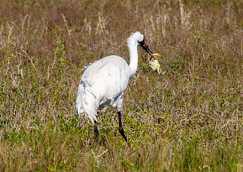 This Whooping Crane has caught another Blue Crab.