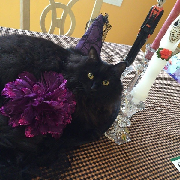 "Yes @windycitymomma believes in ""live"" decorating for #Halloween now that we have a black cat who will gladly serve as the dining room table centerpiece."