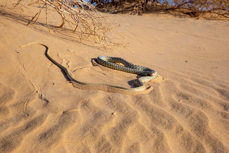 Sahara Racer - Platyceps rhodorachis  - זעמן דק