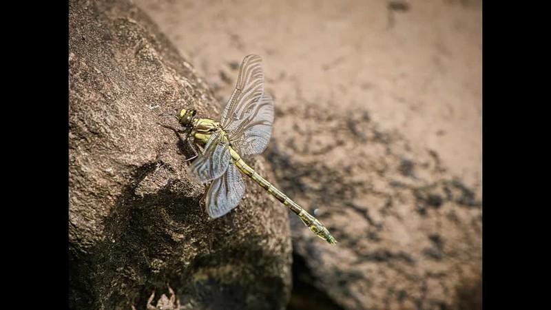 Dragonfly emerging (35 sec)_Medium.mp4