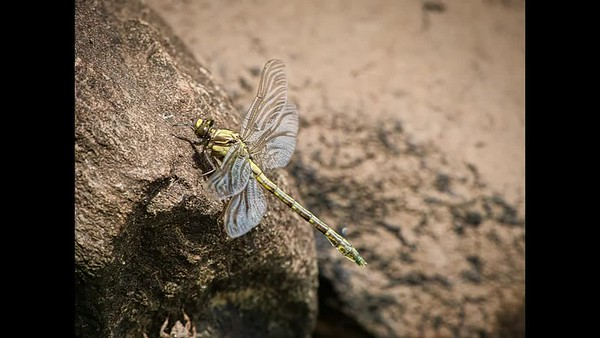 Emerging Dragonfly sequence