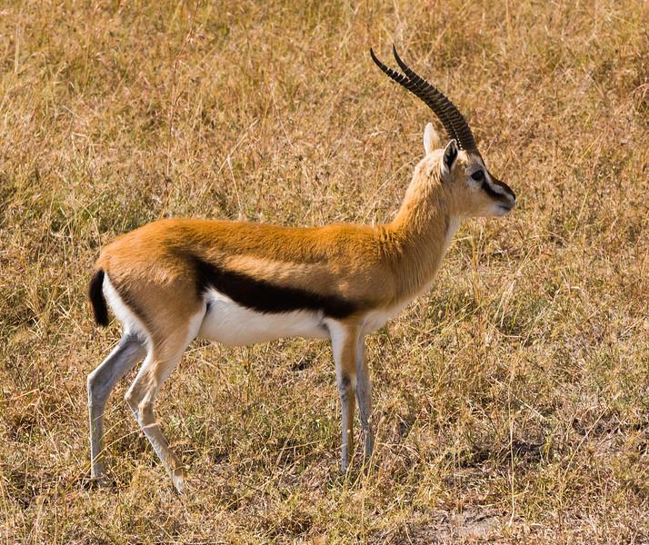Thomson's gazelle.jpg