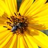 Honeybee front and center-2328