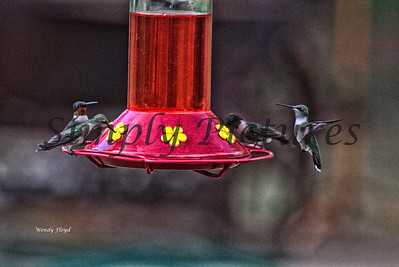 Hummers  (18)
