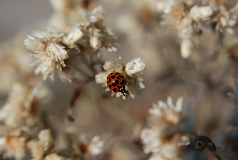 lady bug on white flower