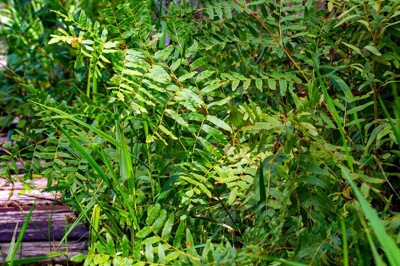 Royal Fern_Watson's preserve_BL8E8879.jpg