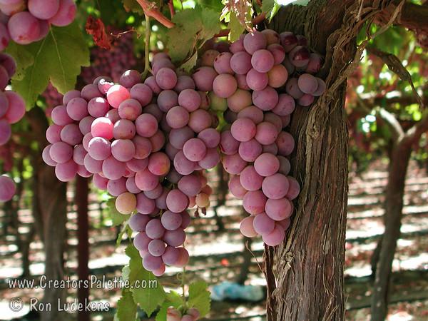 Redglobe Grape - Vitis vinifera