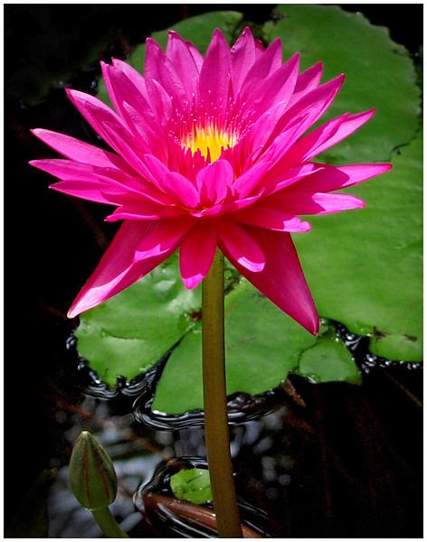 9_1_19 Water Lily.jpg
