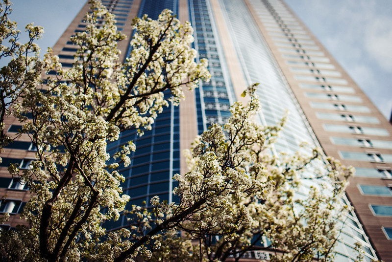 cherry blossoms and building looking up seattle.jpg