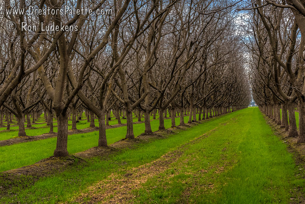 Dormant Walnut Orchards