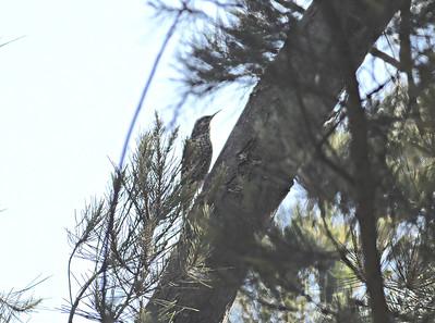 A 43 Treecreeper-Baumläufer