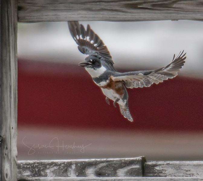 Belted Kingfisher up in frame