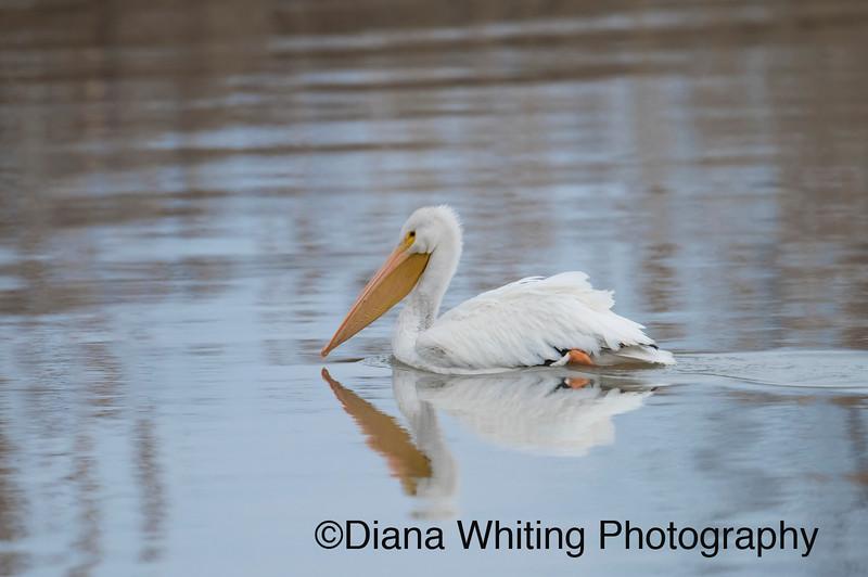 White Pelican   .jpg