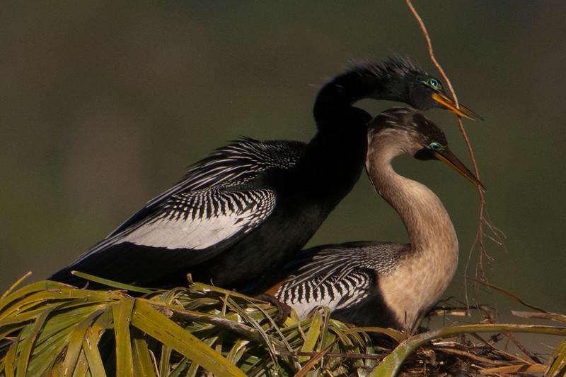Anhinga - pair - passing stick - Viera Wetlands, FL - 02