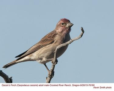Cassin's Finch M76160.jpg