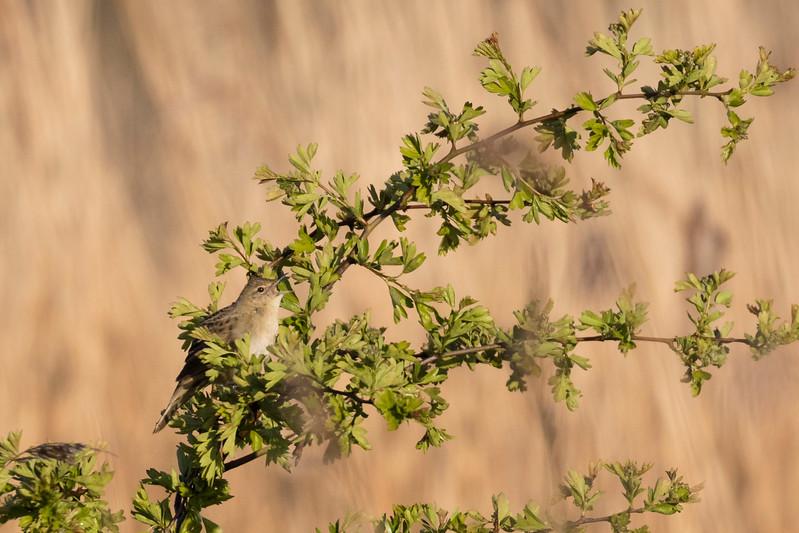 snor, savi's warbler