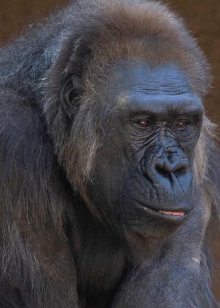 gorilla SDWAP