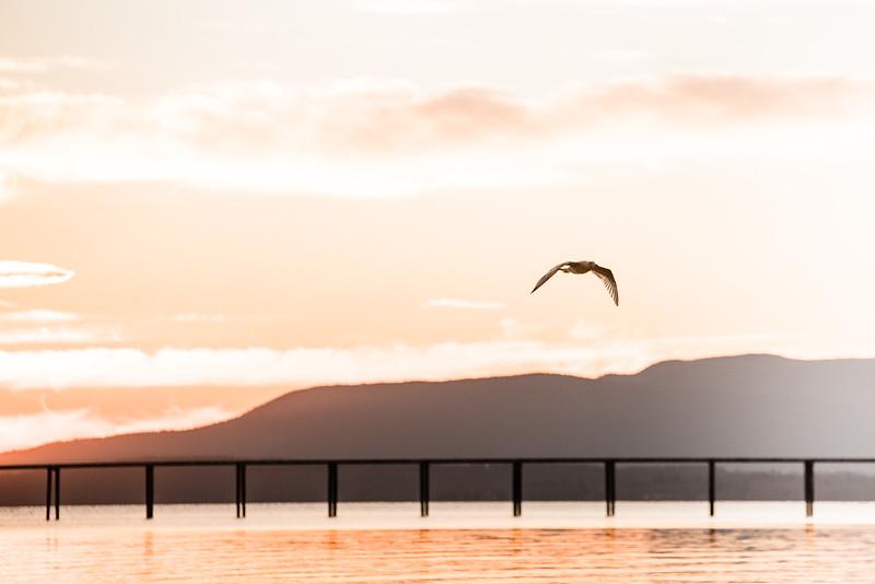bellingham-bay-seagull
