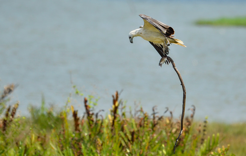 White-bellied-sea-eagle-with-eel-2.jpg