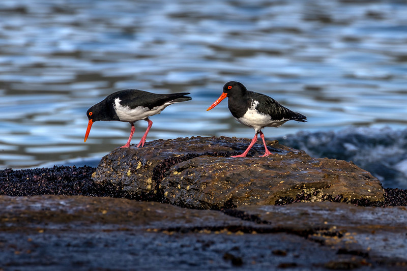 Pied oystercatchers, Tessellated Pavement, Tasmania