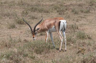 Gazelle (3)
