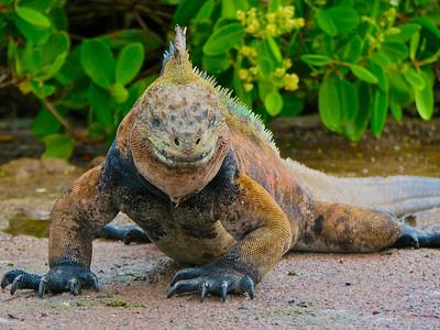 Marine Iguana Stare Down