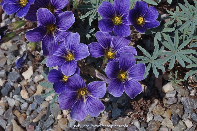Oxalis laciniata 'Seven Bells'