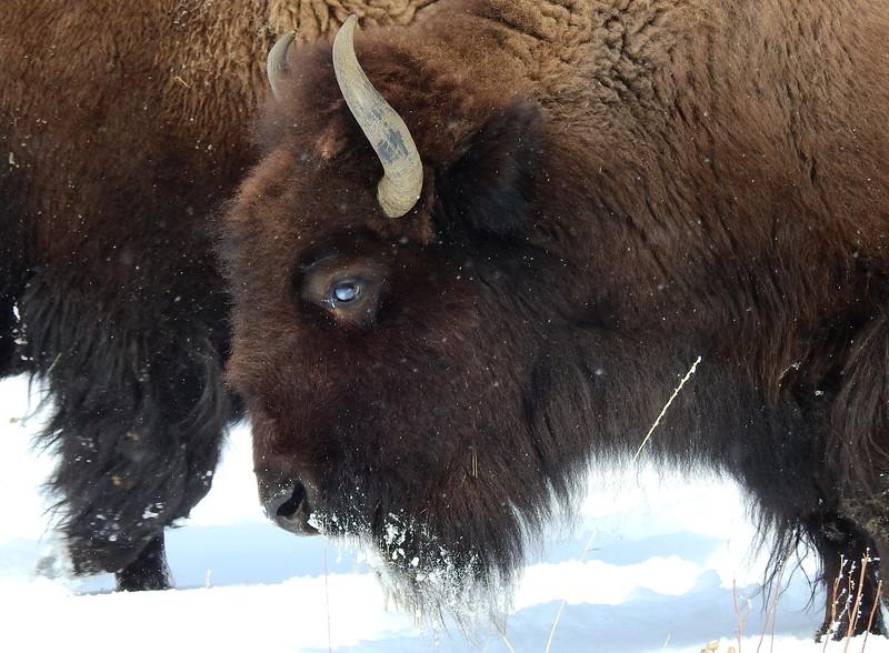 Buffalo (20).JPG