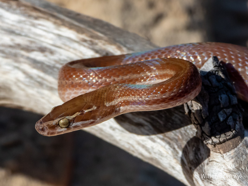 20191005 Brown House Snake (Boaedon capensis) from Parklands, Western Cape