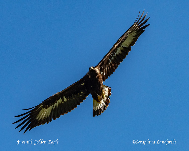 _DSC8767Juvenile Golden Eagle.jpg