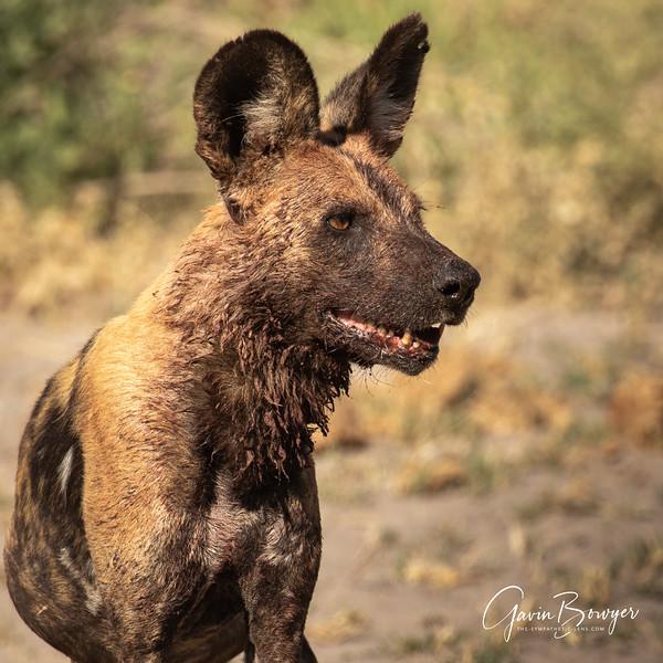 Wild Dogs Botswana-4.jpg